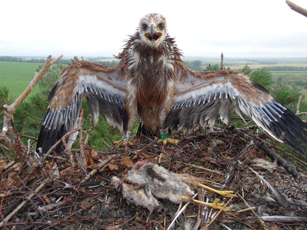 Птенец орла-могильника и тушка слётка болотного луня. Фото Р. Бекмансурова