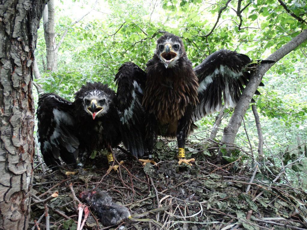 Птенцы большого подорлика. Фото Р. Бекмансурова