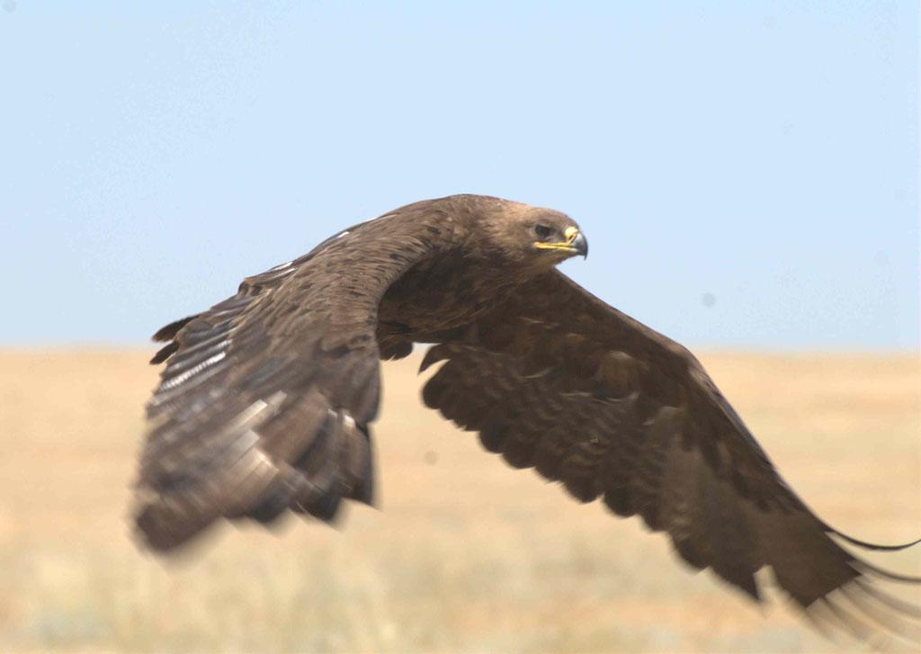 Степной орёл. Фото А. Мацыны