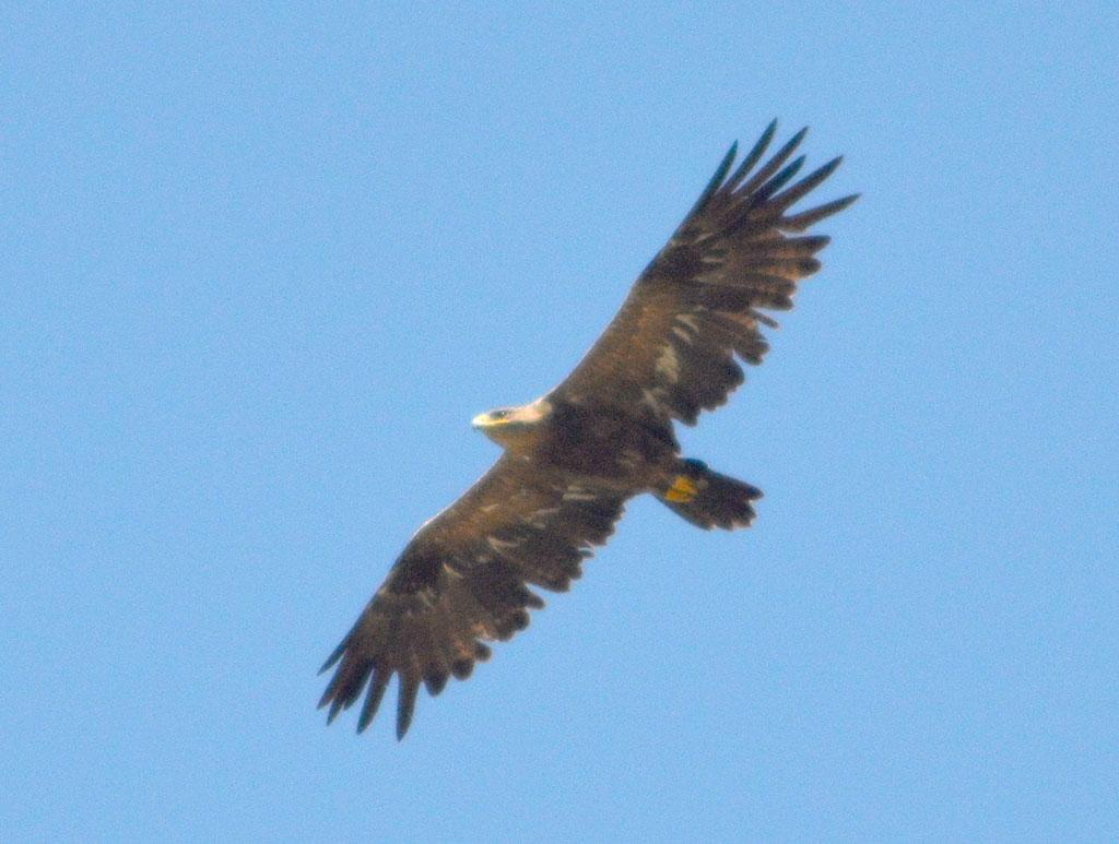 Степной орёл. Фото И. Карякина