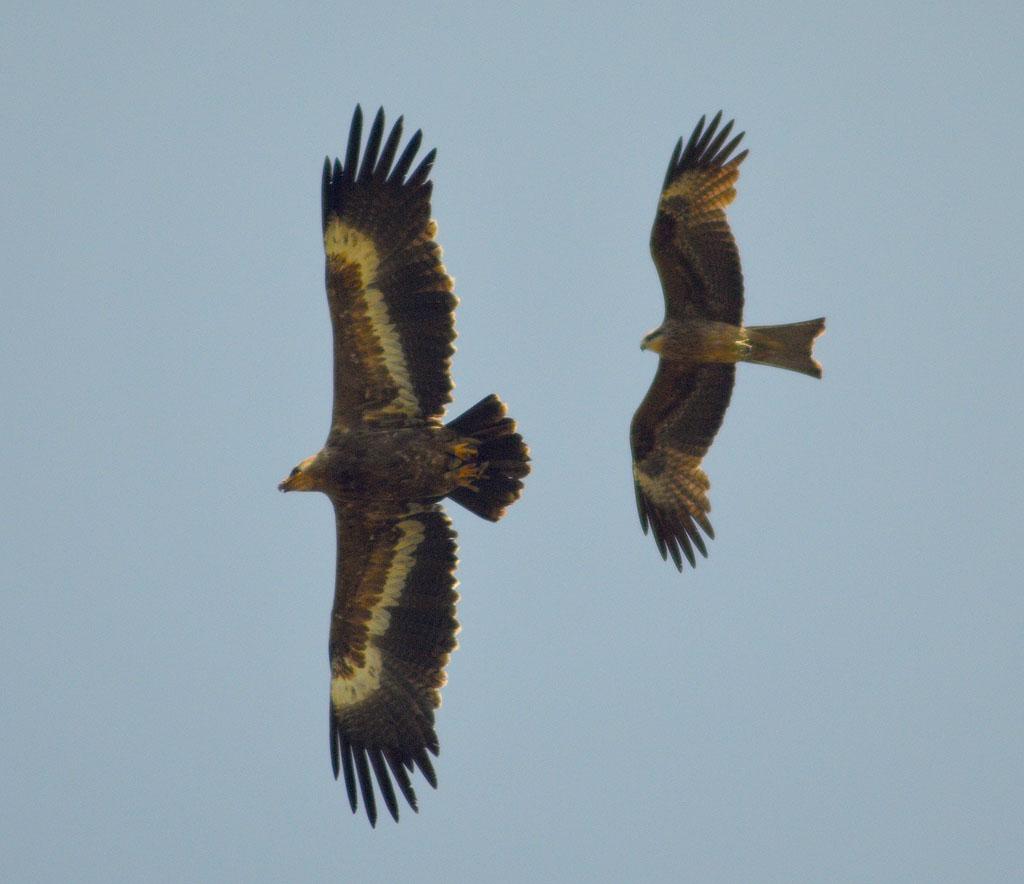 Степной орёл и черноухий коршун. Фото И. Карякина