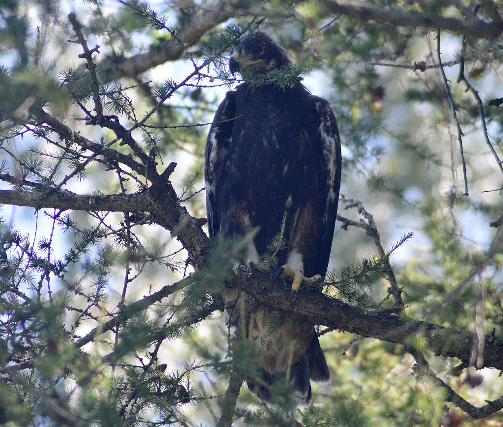 Птенец беркута, только что покинувший гнездо. Фото И. Карякина