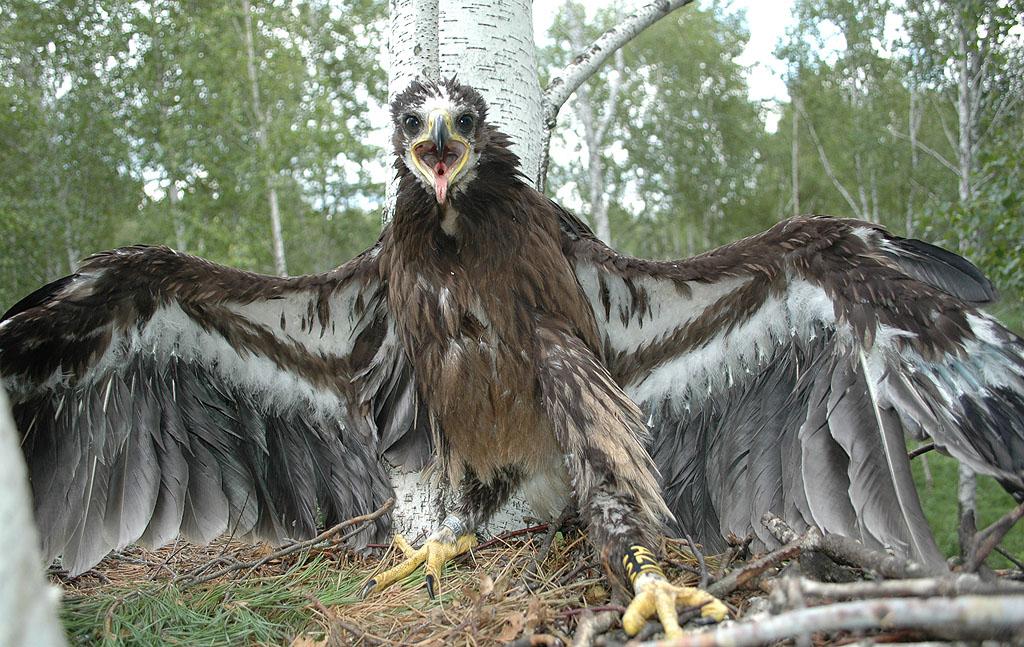 Клангуша в гнезде. Фото И. Карякина