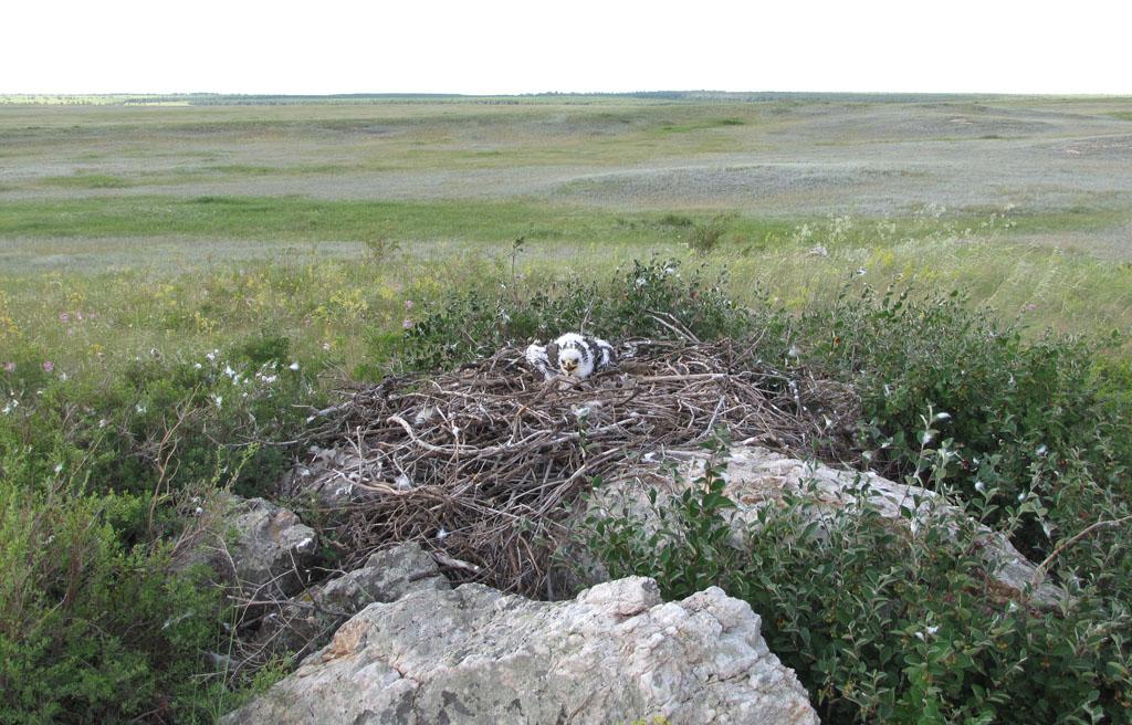 Самое северное из ныне занимающихся гнёзд степного орла в Оренбуржье - в Адамовском р-не. Фото И. Карякина