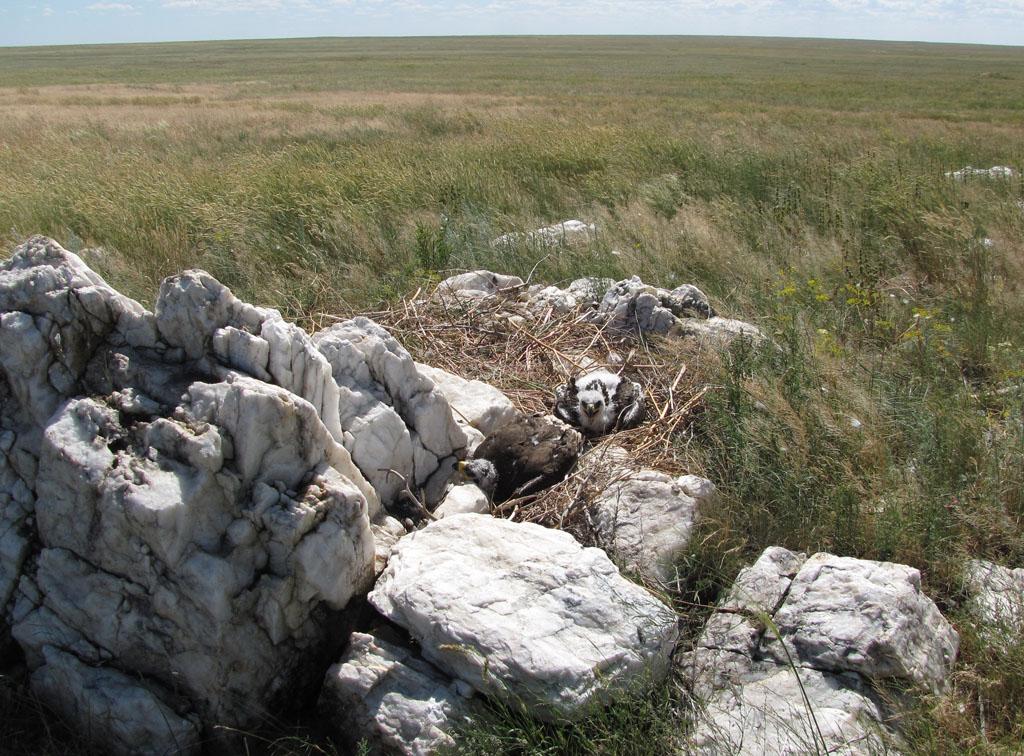 Одно из немногих успешных гнёзд степного орла, восстановившееся на следующий год после пожара. Фото И. Карякина