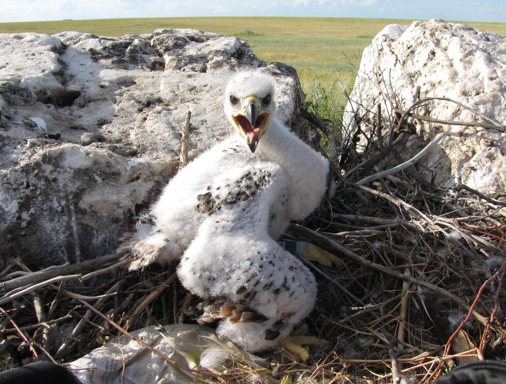 Птенец степного орла в гнезде. Фото И. Карякина