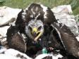 Птенец степного орла. Фото И. Карякина