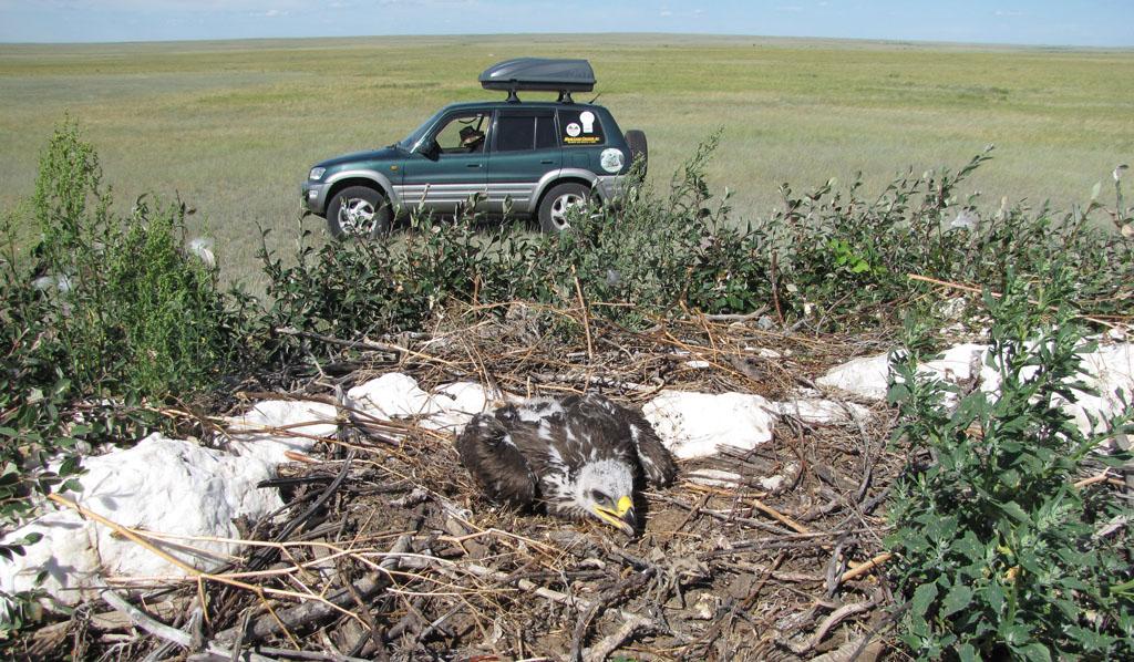 Птенец степного орла недоеденный четвероногим хищником в гнезде. Фото И. Карякина