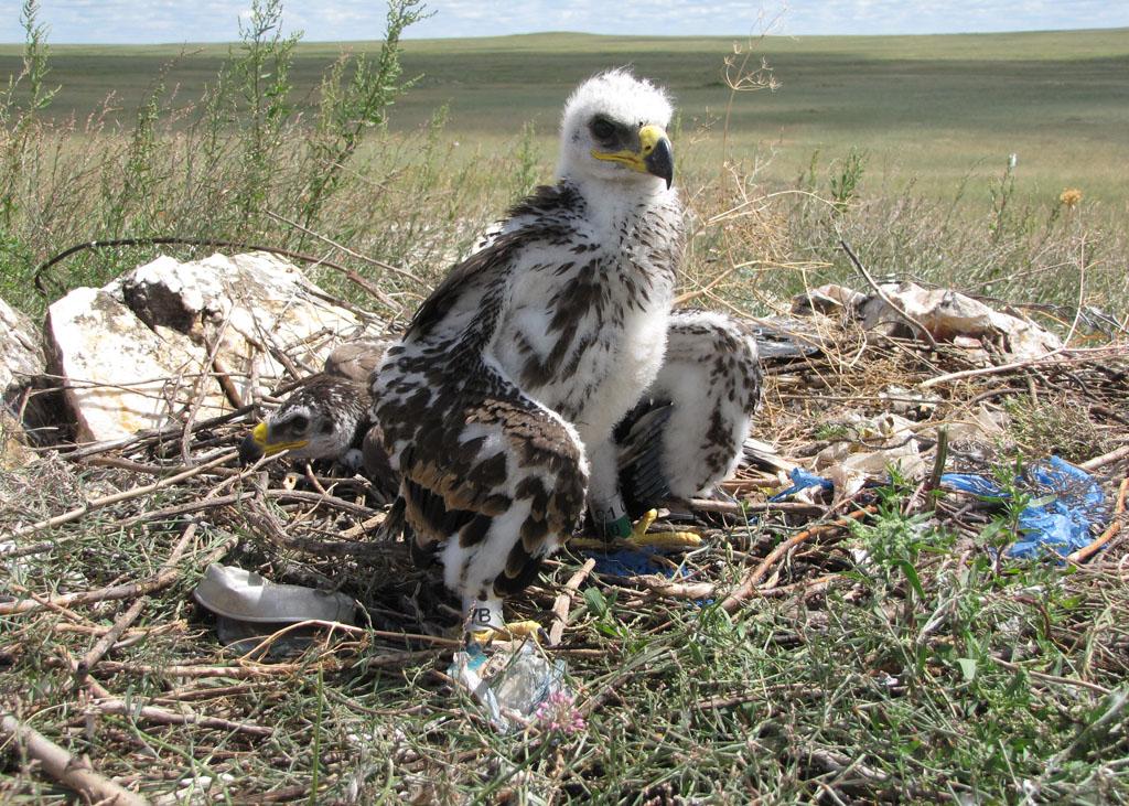 Птенцы степного орла, помеченные кольцами RRRCN. Фото И. Карякина