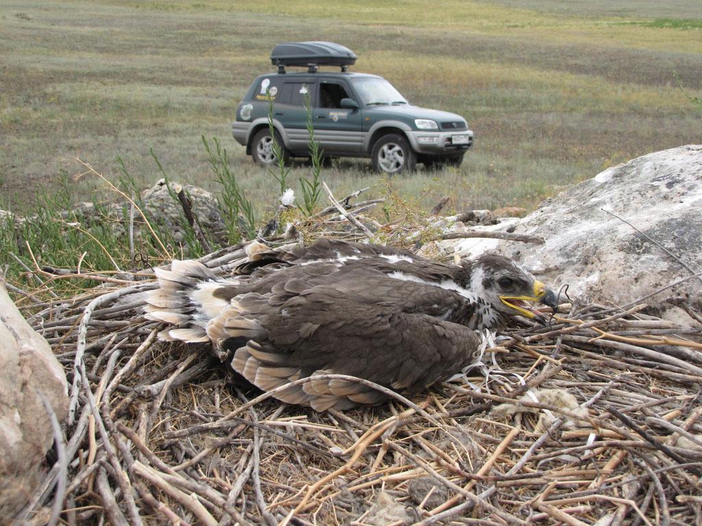 Птенец степного орла на гнезде в Предуральской степи - будущем кластере Оренбургского заповедника. Фото И. Карякина