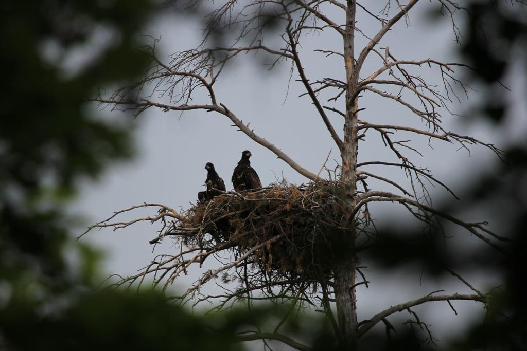 Гнездо орлана-белохвоста с птенцами. Фото Р. Бекмансурова