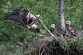Family of the Imperial eagle. Altai. Photo by Jinsoo Kim