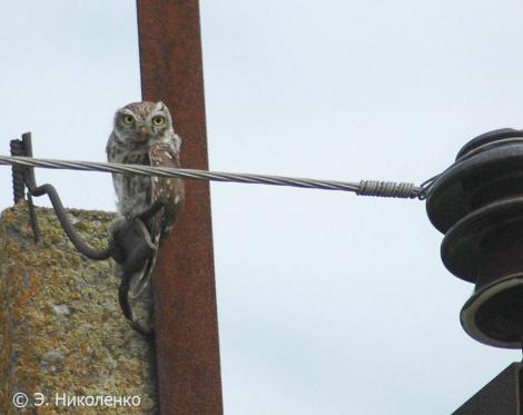 Домовой сыч на птицеопасной ЛЭП. Фото: Эльвира Николенко