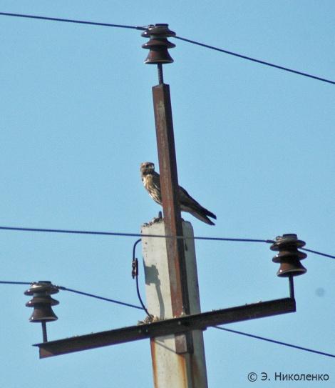 Канюк на опоре птицеопасной ЛЭП. Фото: Эльвира Николенко