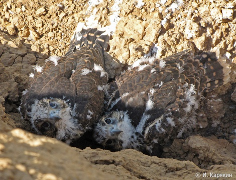 Птенцы сокола-балобана в гнезде. Фото: Игорь Карякин