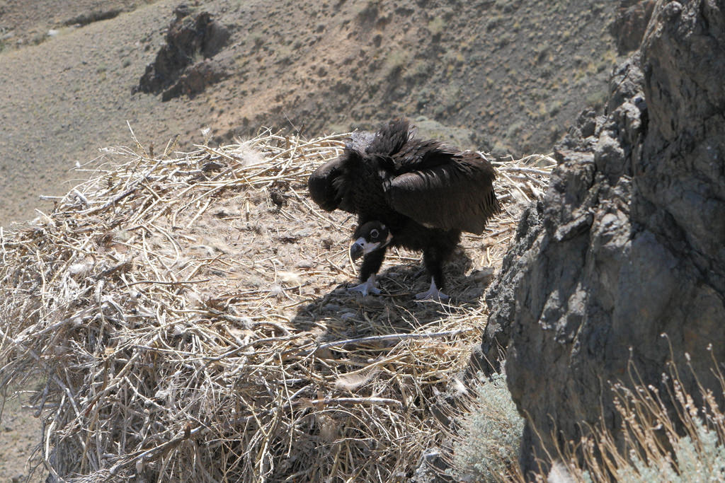 Cinereous vulture in the nest