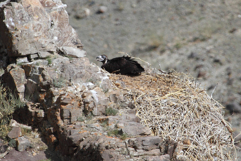 Vulture АВ126 in the nest