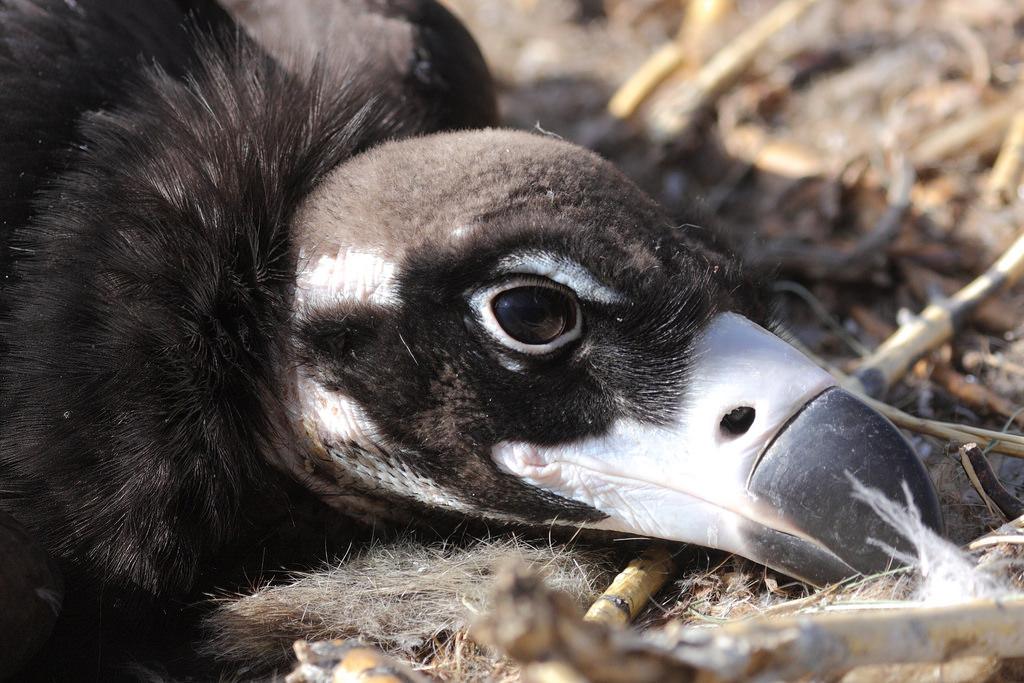 Vulture АВ012-1В