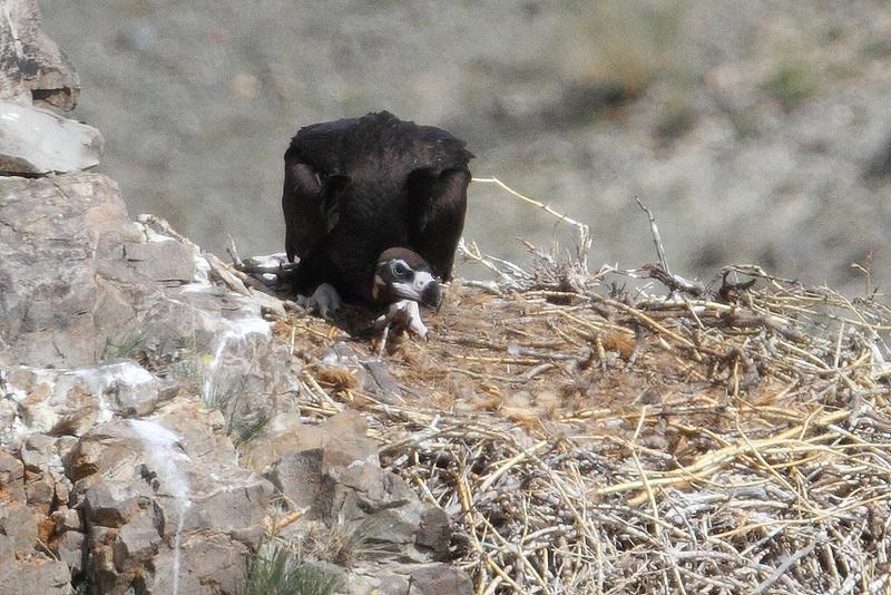 Vulture АВ126