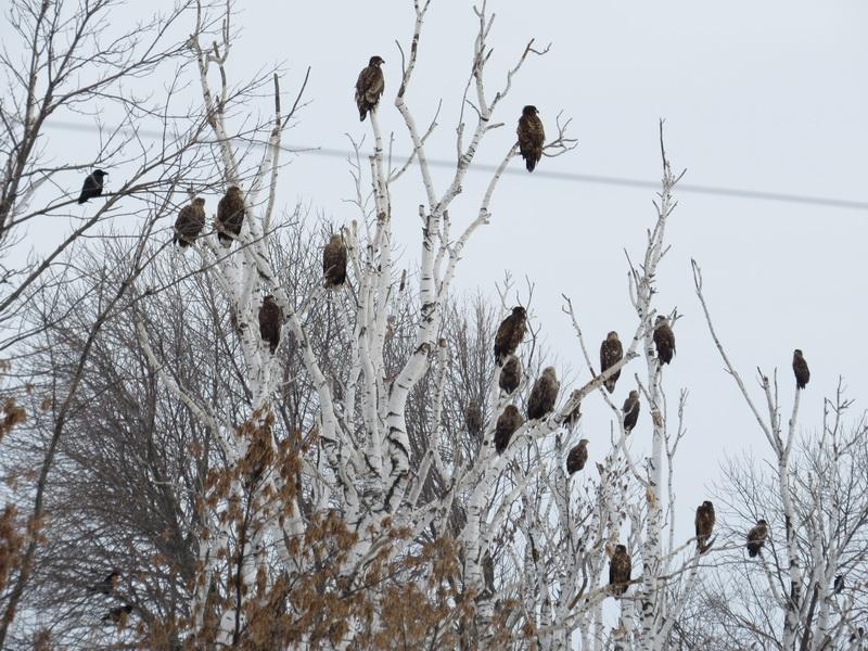 Орланы-белохвосты на зимовке в Ульяновской области. Фото Владимира Чапурина