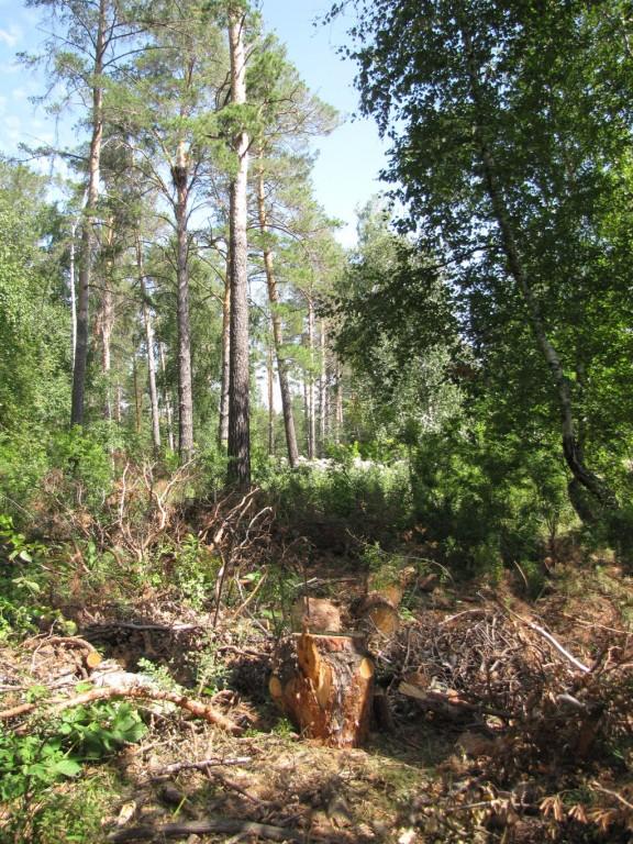 Гнездовой участок подорлика, когда-то бывший жилым, а теперь вот... Фото И. Карякина