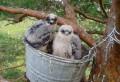 В 2011 году гнездо-ведро заняли чеглоки. Фото В.В. Ивановского.