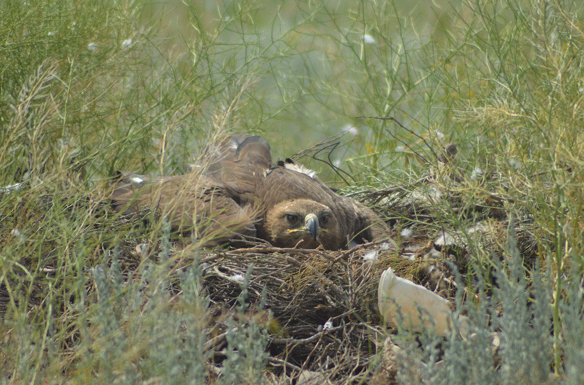 Самка степного орла на гнезде, Калмыкия. Фото И. Карякина