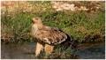 Татарский орёл-могильник, встреченный в Омане. Фото Mr Ashutosh Pai