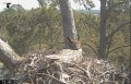 Веб-камера на гнезде виргинского филина в США