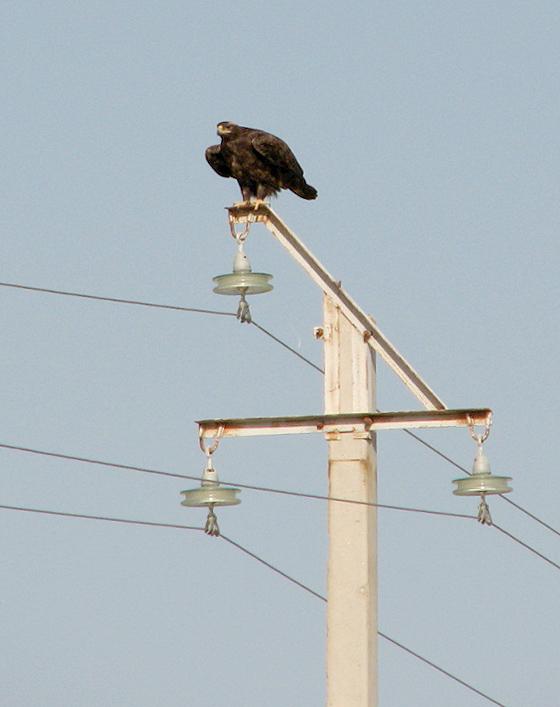 Степной орёл на ЛЭП. Фото А. Левина