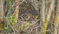 Вебкамера на гнезде ушастой совы