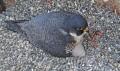 Вебкамера на гнезде сапсана в США