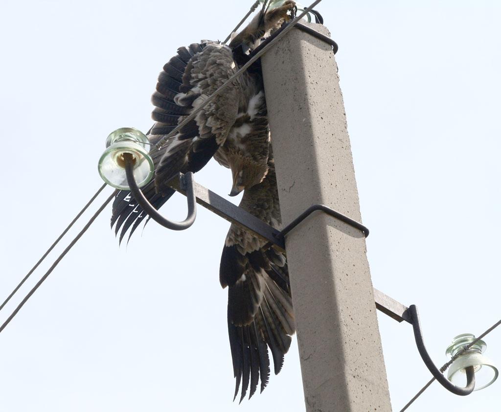 Степной орёл погибший на ЛЭП в результате поражения электротоком. Фото Г. Дякина