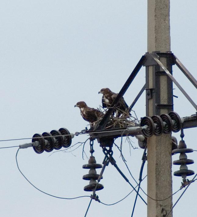 Пара степных орлов в гнезде, устроенном на опоре высоковольтной ЛЭП в Калмыкии. Фото И. Карякина