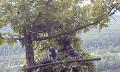 Сапсаны, выросшие на гнездовой платформе на дереве. Фото А. Паженкова