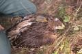 Самка орла-могильника по имени Канди из Татарии. Фото И. Карякина