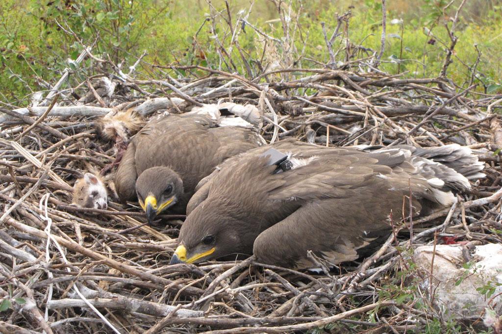Самка степного орла по имени Ада со своим братом в гнезде. Фото И. Карякина