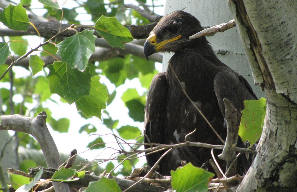 Степной орёл по имени Чингачгук. Фото И. Карякина