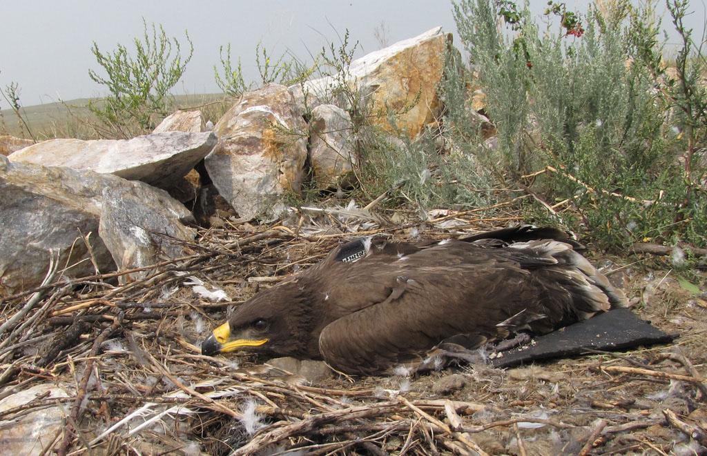 Степной орёл по имени Ева. Фото И. Карякина