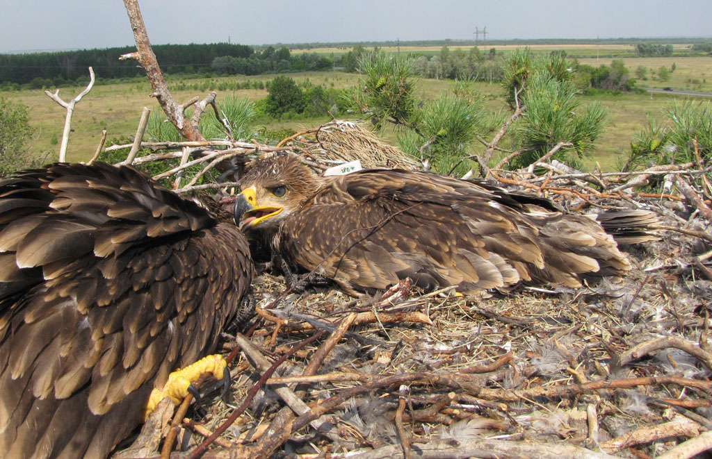 Female of the Imperial Eagle named Mira with sister in tne nest. Photo by I. Karyakin