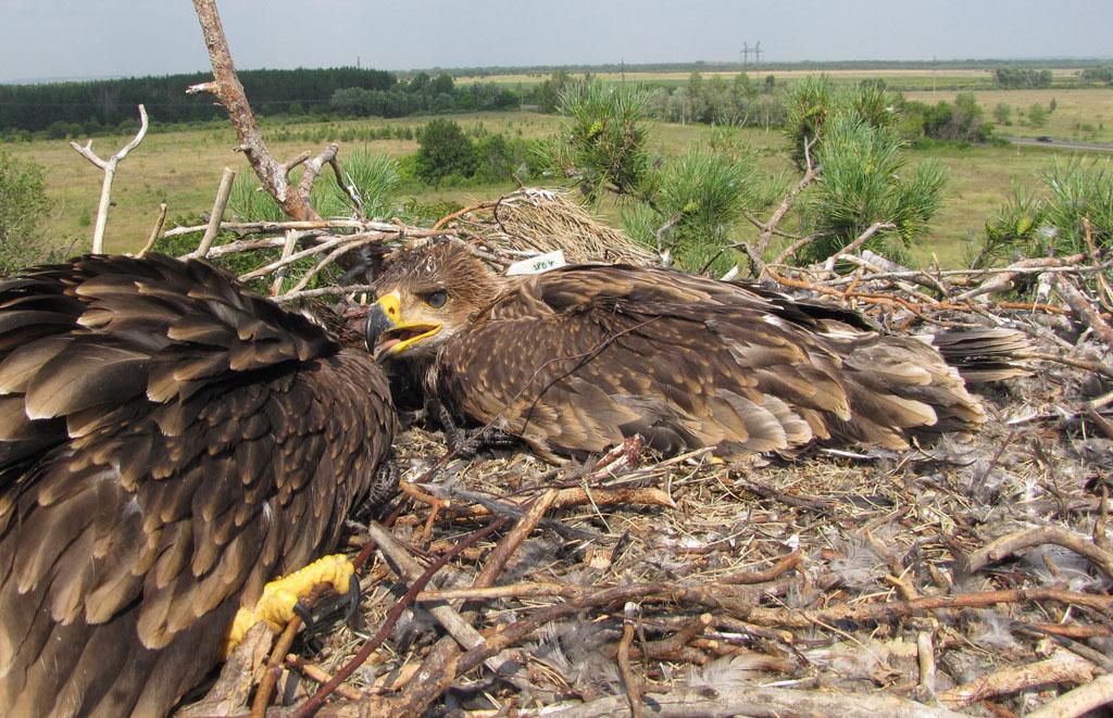 Самка солнечного орла по имени Мира в гнезде вместе со своей сестрой. Фото И. Карякина