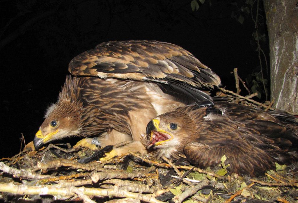 Солнечный орёл по имени Моисей со своей сестрой в гнезде. Фото И. Карякина