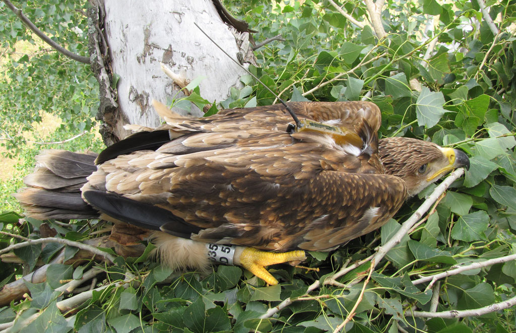 Imperial Eagle named Sakmarik in nest. Photo by I. Karyakin