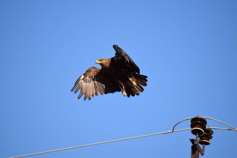 Степной орел и птицеопасная ЛЭП. Фото Р.А. Меджидова
