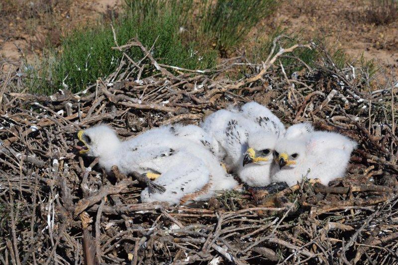 Птенцы степного орла в гнезде. Фото Р.А. Меджидова