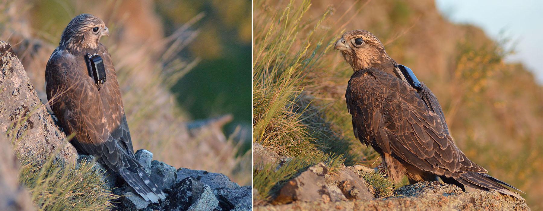 Самка балобана по имени Хакасска (слева) и самец по имени Камыш (справа). Фото И. Карякина