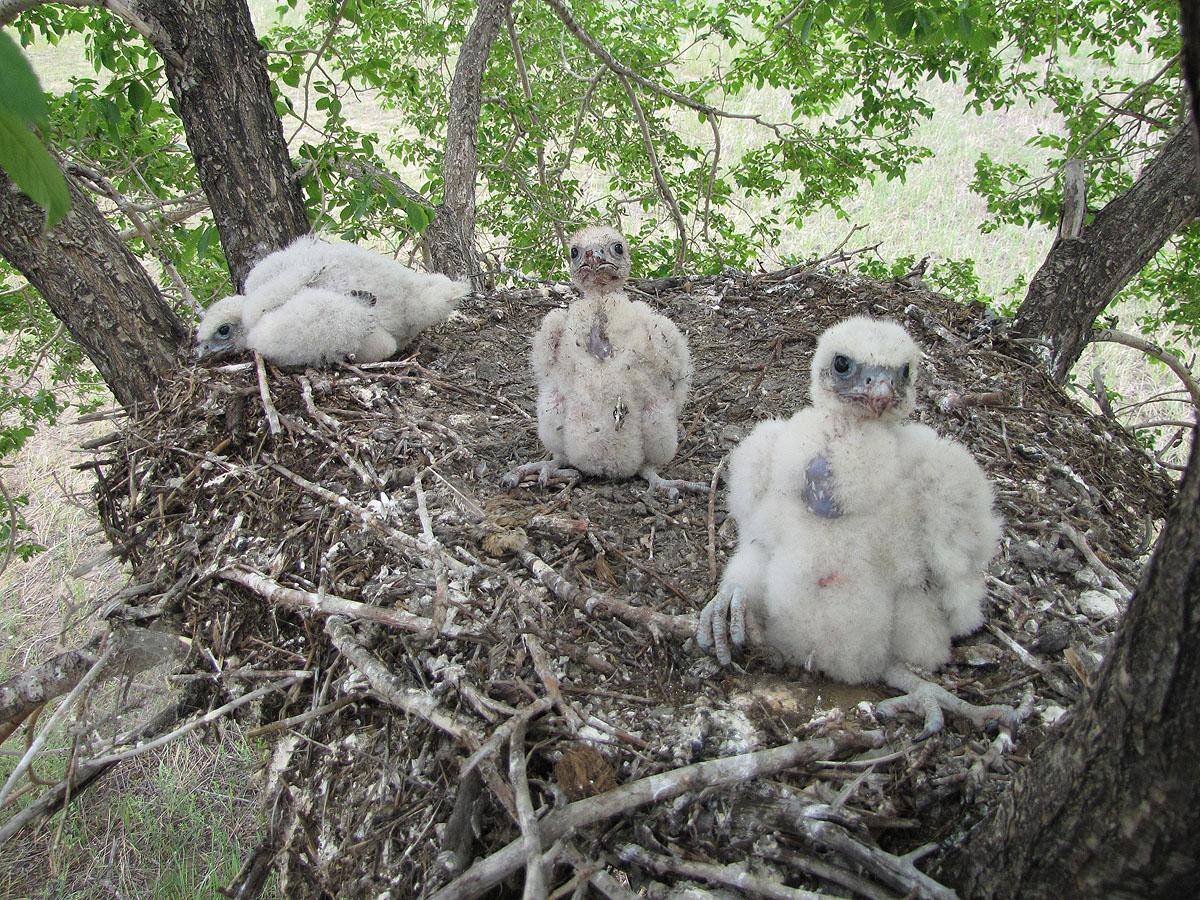 Птенцы балобана в гнезде. Фото И. Карякина
