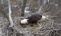 Nongame Wildlife Bald Eagle Cam