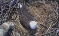 Вебкамера на гнезде белоголового орлана в США