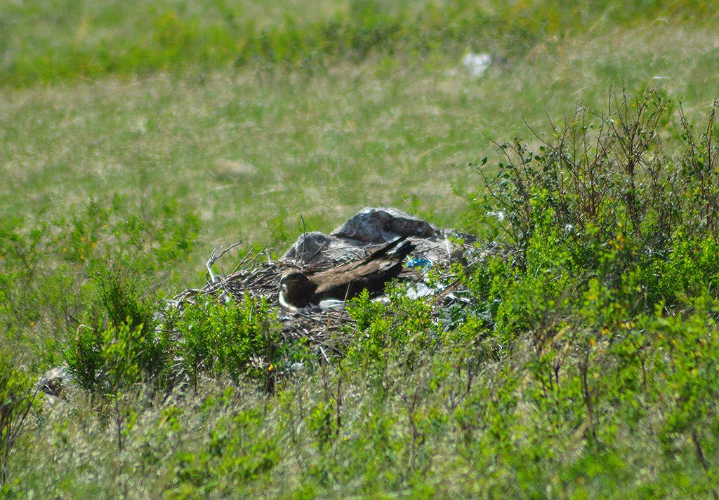 Самка степного орла в гнезде на кладке. Фото И. Карякина